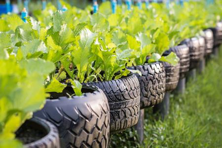 Vieux recyclage noire de pneus usagés dans la ferme de légumes biologiques