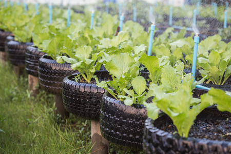 ingenious: Old black recycle of tire used in organic vegetable farm