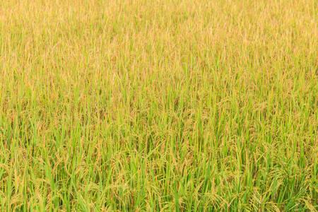 nakhon pathom: Rice plant. Yellow rice field in Nakhon Pathom province ,Thailand