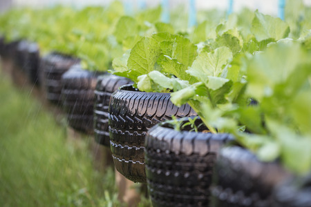 Old black recycle of tire used in organic vegetable farm