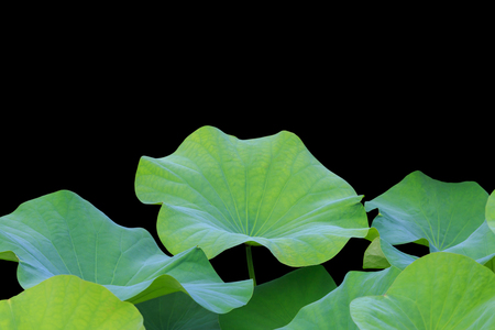 saved: Big green lotus leaf isolated on white background. Saved with clipping path (Lotus used to worship)