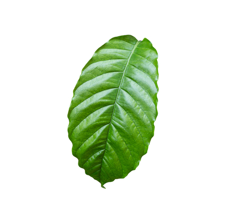 arbol de cafe: Fresh green coffee tree leaf isolated on white background.