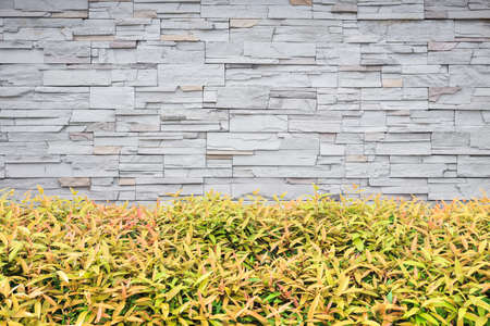 ivy hanging: Pattern of young green plant. Garden decorative and stone wall background