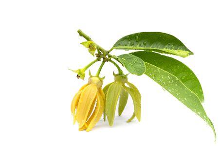 Macro green Ylang-Ylang flower on white background 스톡 콘텐츠
