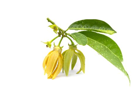 Macro green Ylang-Ylang flower on white background Banque d'images