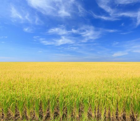 Rice plant. Yellow rice field in Nakhon Pathom province ,Thailand Stock Photo