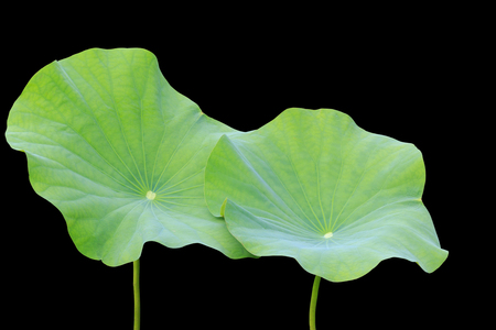 Big green lotus leaf isolated on white background.