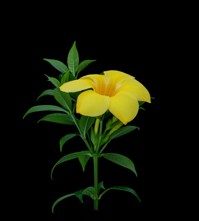 Yellow tropical flowers, Golden trumpet or Allamanda isolated on black background