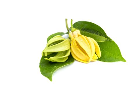 Macro green Ylang-Ylang flower on white background Фото со стока