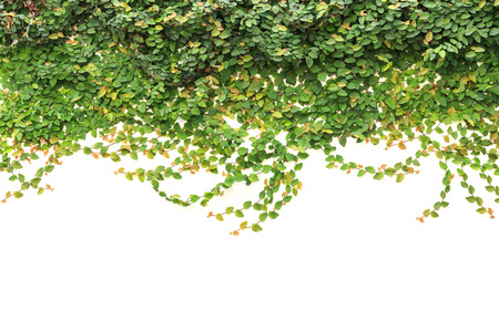 Abstract of fresh green ivy isolated on white background. Garden decoration Stock Photo