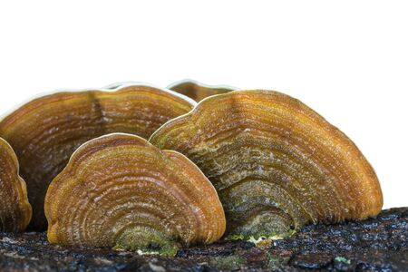 adjuvant: Macro wet brown bracket fungus on wood isolated on white background.