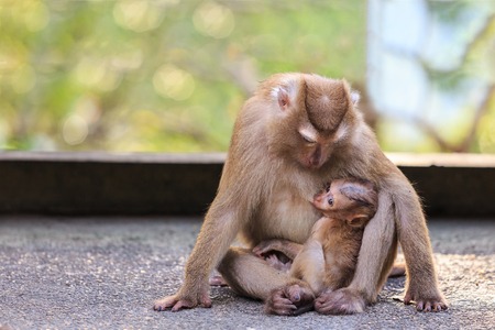 A brown mother monkey with her cute baby in nature of Thailand Stock Photo