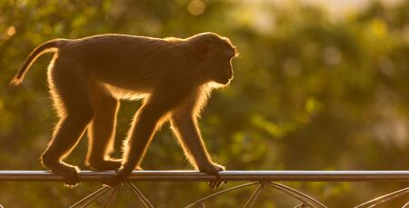 A brown monkey in the nature of Thailand. Warm toning effect with sunbeam