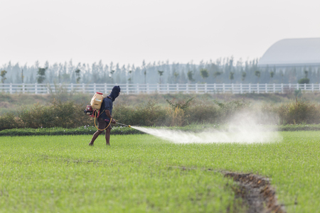 Thai farmer spraying chemical to green young rice field Stock Photo