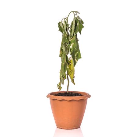 dode bladeren: Groene dode plant in pot. Studio opname geïsoleerd op een witte achtergrond