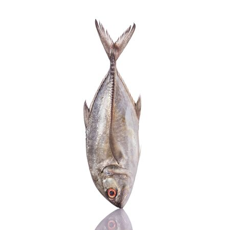 humilde: Giant trevally, Giant kingfish or Caranx. Studio shot isolated on white background