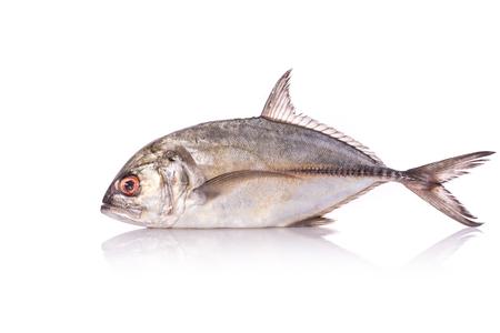 coralgrouper: Giant trevally, Giant kingfish or Caranx. Studio shot isolated on white background