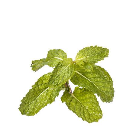 Fresh green peppermint. Studio shot isolated on white background