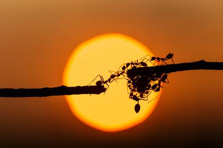 Macrosilhouet rode mier die op boomtak en zonsondergangachtergrond lopen Stockfoto