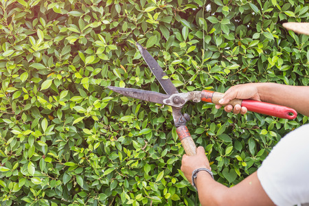 Close up gardener cutting a hedge in the garden. Focus on scissor