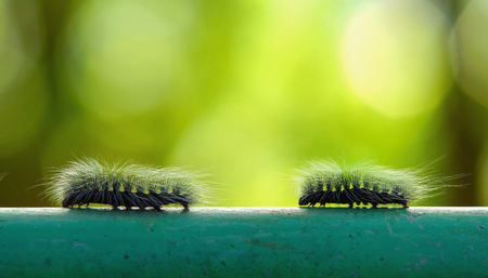 Macro two furry caterpillar walking on steel bar and green blur background Stock Photo