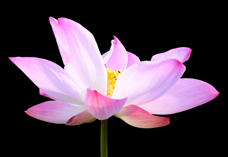 Beautiful pink lotus flower isolated on black background. Saved with clipping path (Lotus used to worship) Stock Photo