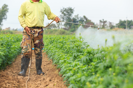 Local Thai farmer or gardener spraying chemical in Marigold flower field at northern of Thailand