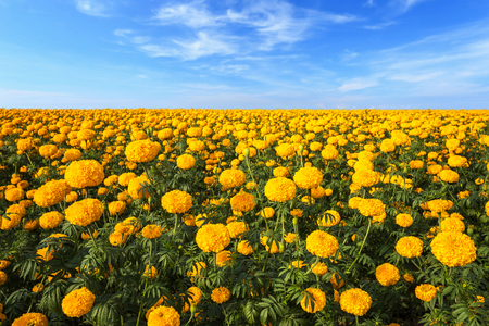 Landscape of Marigold flower in field and blue sky at northern of Thailand, Yellow Marigold flower plantation