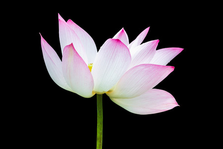 Beautiful pink lotus flower isolated on black background. Stock Photo