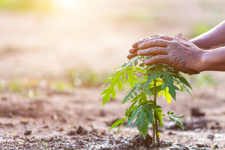 Close up hand holding soil and planting young papaya tree into soil. Save world and ecology concept Stock Photo
