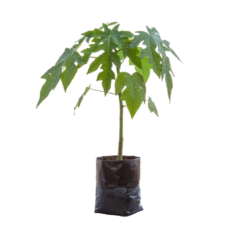 Young fresh papaya tree in garden back isolated on white background. Save with clipping path