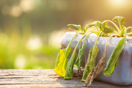 Plastic recycle concept : Dead plant or vegetable in plastic bottle on wooden table with sunlight in morning time Stockfoto