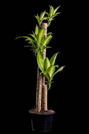Dracaena tree or Dracaena fragrans in black plastic pot studio shot and isolated on black background Zdjęcie Seryjne