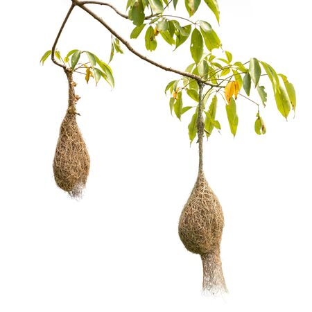 Brown dry grass bird nest of Weaver bird hang on the tree isolated on white background Foto de archivo