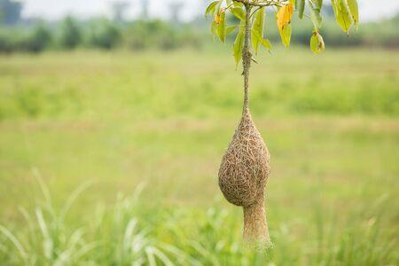 Nido de pájaro de hierba seca marrón de pájaro tejedor cuelga de la rama de un árbol con fondo de desenfoque de naturaleza verde