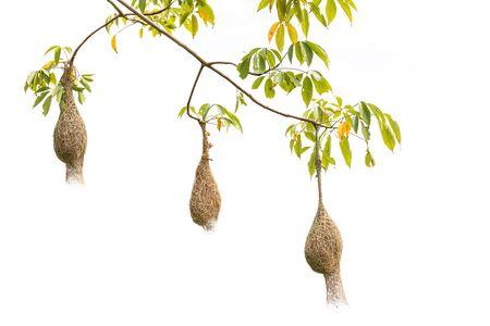 Nido de pájaro de pasto seco marrón de pájaro tejedor colgar en el árbol aislado sobre fondo blanco.