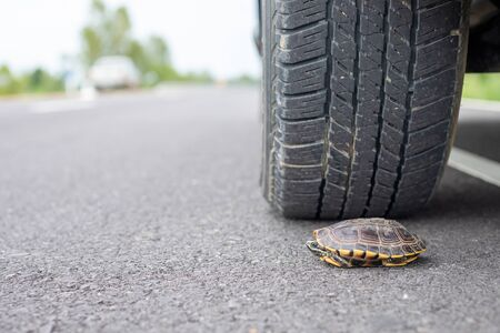 Close up turtle under the car. Wheel of car almost to tread a turtle on the road. Safety and be careful driving concept Stock Photo