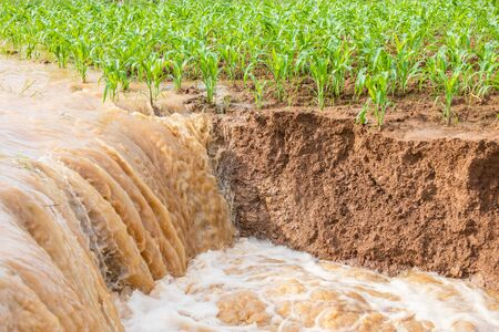 Damage of green corn field from flooding, Row of corn plantation near sliding soil texture and water flowing