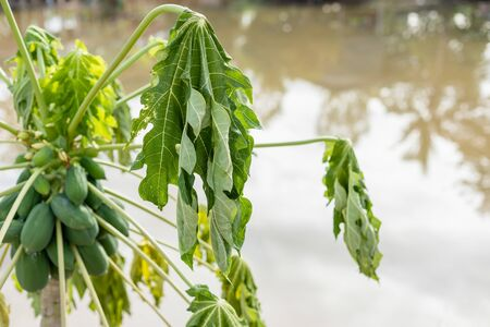 Papaya tree almost died because flooding and water stuck in many day