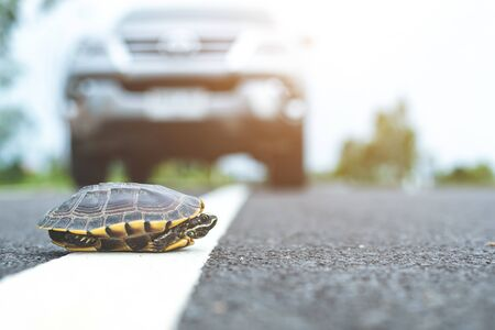 Close up turtle crossing the road. Driver stop the car to let turtle walking on the road. Safety and be careful driving concept Stock Photo