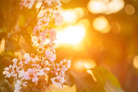 Macro flower of Queens Flower tree or Lagerstroemia speciosa (Inthanin in Thai name) with orange sunset light
