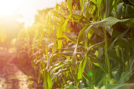 Green corn field, Row of corn plantation in Thailand. Shoot in sunset time with sunlight effect Stockfoto