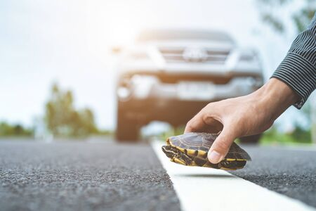 Turtle crossing the road. Driver stop the car and help turtle on the road. Safety and be careful driving concept