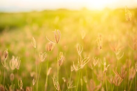 Beautiful white grass flowers in sunrise time on blur and nature bokeh background, Nature and outdoor concept Stok Fotoğraf