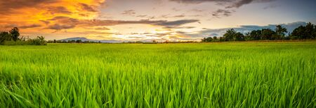 Panorama landscape of young green rice field and beautiful sky sunset in Thailand Stok Fotoğraf