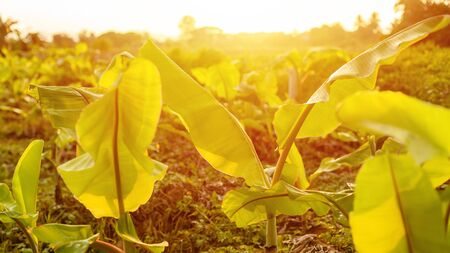 Fielf of young banana tree at countryside. Shoot in sunset time with gold sunlight