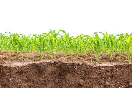 Green corn field, Row of corn plantation near sliding soil texture. Isolated on white background