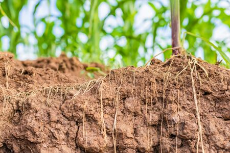 Macro root of young corn in field and texture of soil. Environment concept