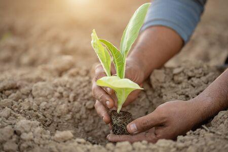 Hand des thailändischen Landwirts, der junge von grünem Tabak auf dem Gebiet im Norden Thailands hält. Wachstumspflanzenkonzept