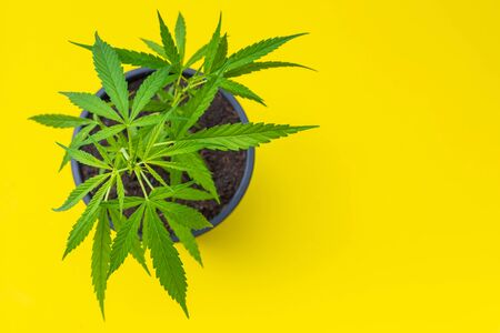 Close up young green fresh of marijuana tree in black plastic seeding pot on yellow background Stok Fotoğraf